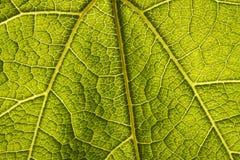 liść zielony macro Fotografia Royalty Free