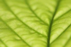 liść zielony macro Fotografia Stock