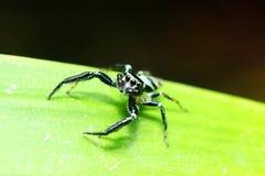 liść zielony pająk Zdjęcia Stock