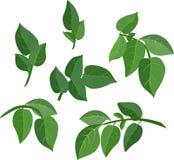 liść zielony set Zdjęcie Royalty Free