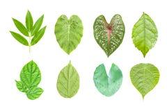 liść zielony set pojedynczy białe tło Zdjęcia Royalty Free