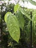 liść zrzutu wody Zdjęcie Royalty Free