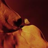 liści 02 pomarańcze Obraz Royalty Free