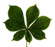 liści cisawy białe tło Obrazy Stock