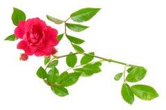 liści, czerwona róża Zdjęcie Royalty Free