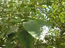 Liści drzewa Zdjęcie Royalty Free