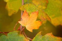 liści jesienią Obrazy Stock