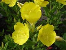 Liści suncups kolor żółty kwitnie (wieczór pierwiosnek) Obraz Stock