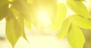 Liści sunflares i granica Backlit strzał drzewni liście rusza się w wiatrze wolnym zbiory