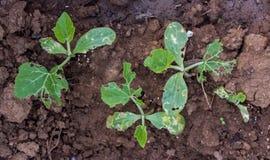Liści warzywa z dziurami Obraz Stock