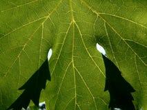 liści winorośli Zdjęcia Stock