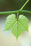 liści winorośli Obraz Royalty Free