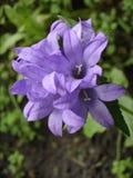 Liściaści bellflower fiołka kwiaty Zdjęcie Royalty Free