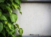 Liścia arywisty pokrywa na gips ścianie Fotografia Royalty Free