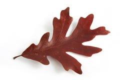 liścia dębowy drzewo Zdjęcie Stock