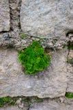 Liścia dorośnięcie w kamiennej ścianie 3d tła pojęcia wzrostowa ilustracja odizolowywająca odpłacał się biel Zdjęcia Stock