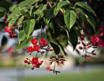 Liścia i czerwień kwiatów Jatropha integerrima obrazy royalty free