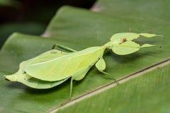 Liścia insekt obrazy royalty free
