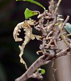 Liścia insekt od Australia fotografia stock