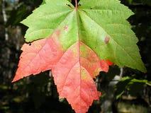 Liścia klonowego szczegół, Kanada w Północna Ameryka zdjęcia stock