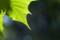 Liścia klonowego tło Zdjęcie Stock
