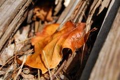 Liścia klonowego zbliżenie Obrazy Stock