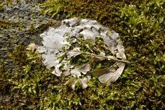 Liścia kościec na mech Obraz Stock
