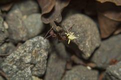 Liścia krajacza mrówka Obraz Stock