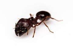 Liścia krajacza mrówka odizolowywająca na białym tle Zdjęcia Royalty Free