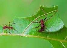 Liścia krajacza mrówki rozcięcie Obrazy Royalty Free