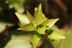 Liścia pączek Obraz Royalty Free