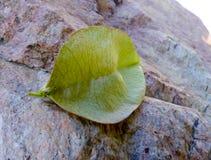 Liścia strąk który Patrzeje Jak wargi Fotografia Royalty Free