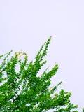 Liścia tło Zdjęcie Royalty Free