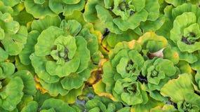liścia wzór zielona wodna paproć w ogrodowym stawowym use dla plecy Zdjęcia Royalty Free