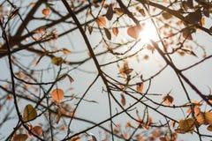 Liścia złocisty kolor Bodhi drzewo w lecie z t Zdjęcie Royalty Free
