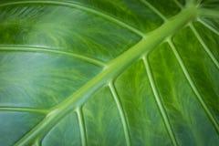 Liścia zbliżenie - słonia ucho rośliny liść makro-, obraz royalty free