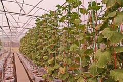 Liścia zwarzenie od substanci toksycznej nadmierna dawka użyźniacz melon w aquaponic flancowanie systemu Fotografia Stock