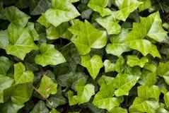 Liście świeży zielony bluszcz Obrazy Stock