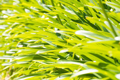Liście agapant roślina Zdjęcia Royalty Free