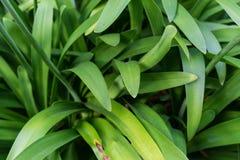 Liście agapanthus praecox miłość kwitną od południowego Africa Obraz Stock