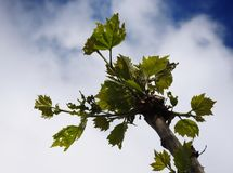 Liście akacjowy kwitnienie w wiośnie zdjęcia stock