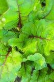 Liście beetroot rośliny w ogródzie Obrazy Royalty Free