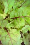 Liście beetroot rośliny w ogródzie Zdjęcia Stock