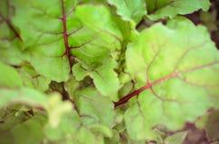 Liście beetroot rośliny w ogródzie Obraz Stock