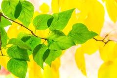 Liście bez na tle żółta bonkreta opuszczają Zdjęcie Royalty Free