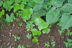 LIŚCIE bluszcz I przylądka agrest W ogródzie Obrazy Royalty Free