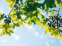 Liście bobek i jagody na drzewie Laurowy liść w dzikim Obraz Stock