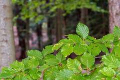 Liście bukowi drzewa w lesie obrazy royalty free