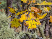 liście dębowi jesieni Obraz Stock