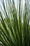 Liście dasylirion acrotrichum dracenaceae palmowego liścia rośliny drzewo od Mexico Obraz Royalty Free